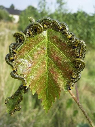 Wysuszone liście brzozowe zawierają do 3,2% saponin, 1,5-2,3% flawonoidów (hiperozyd, mirycetynę i luteolinę), kwasy organiczne, żywice, do 9% garbników katechinowych, sole mineralne, olejek eteryczny i związki trójterpenowe (folientriol, folientetraol). W młodych liściach i pączkach znajduje się więcej olejków eterycznych. Kora brzozowa jest źródłem betuliny. Fot: Wikipedia
