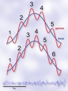 Im więcej cyklów gamma przypada na jeden cykl theta, tym większa pojemność pamięci krótkotrwałej człowieka, wykazały eksperymenty w Instytucie Biologii Doświadczalnej PAN im. M. Nenckiego w Warszawie. U dołu typowy wykres aktywności elektrycznej mózgu (EEG). (Źródło: Instytut Nenckiego)
