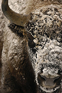W 2012 roku światowe zasoby żubra wynosiły około 4663 osobników, z czego w Polsce - 1299. Większość polskich żubrów żyje w stadach wolnościowych (pięć populacji). Prawie połowa polskiej wolnej populacji skupiona jest w Puszczy Białowieskiej, ponadto dzikie żubry w Polsce spotkać można w Bieszczadach, Puszczy Knyszyńskiej, Puszczy Boreckiej oraz w rejonie Mirosławca i Drawska Pomorskiego w województwie zachodniopomorskim. Wikipedia