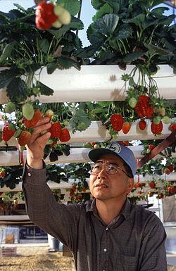 Hydroponiczna uprawa truskawki