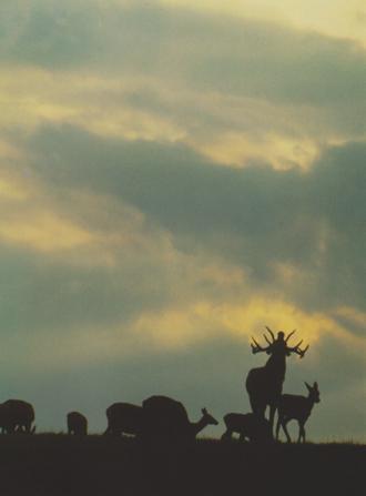 Karkonoskie jelenie. Fot. A. Raj, A. Stachurski
