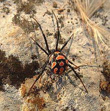 Latrodectus tredecimguttatus female