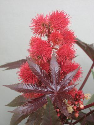 """Elegancki rącznik pospolity, hodowany na całym świecie jako roślinka ozdobna, zawiera w sobie rycynę, naturalną substancję trującą, porównywalną ze """"sztucznym"""" sarinem. Dla człowieka wystarczą trzy nasionka rącznika. Red."""